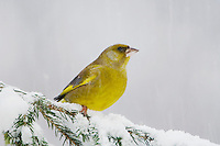 European Greenfinch, Carduelis chloris, male on sprouse branch with snow while snowing, Oberaegeri, Switzerland, Dezember 2005