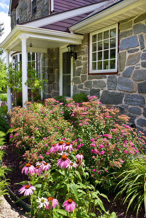 Purple coneflower Echinacea, Spiraea bushes in bloom, ferns, fieldstone fronted entry to house