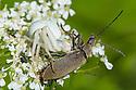 White form of Goldenrod Crab Spider (Misumenia vatia) camouflaged on umbellifer flowers where it has captured its prey. Devon, UK. June.