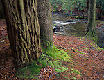 Great Smoky Mountains National Park, TN/NC<br /> Mossy tree trunks along Abrams Creek - Cades Cove