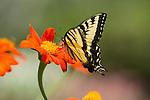Swallowtail Papilio machaon on red zinnia.