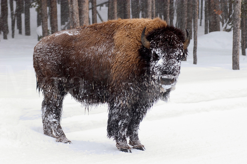 A lone Buffalo stands sentry on a road in Yellowstone national Park on a cold morning in Januar
