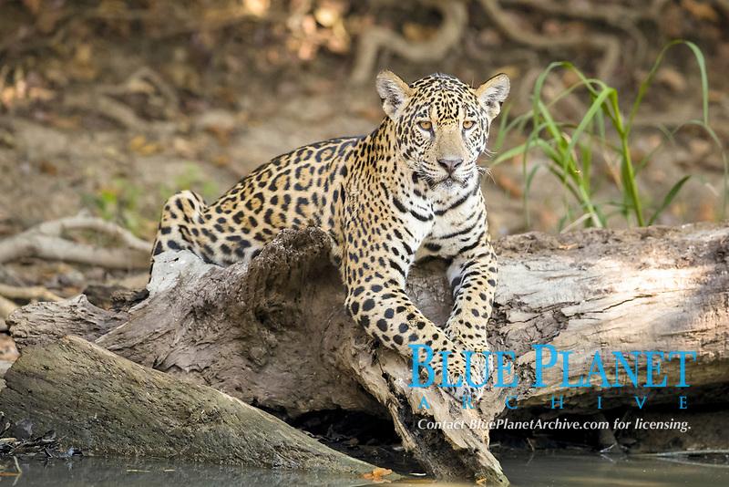 Jaguar (Panthera onca palustris) juvenile, resting on tree trunk, Mato Grosso, Brazil, South America