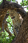 Male Leopard (Panthera pardus) in a wild mango tree. South Luangwa National Park, Zambia.
