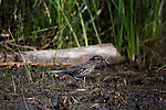 Female red-winged blackbird with dragonflies in her bill