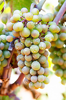 Bunch of grapes on a vine. Zilavka local grape variety. Vita@I Vitaai Vitai Gangas Winery, Citluk, near Mostar. Federation Bosne i Hercegovine. Bosnia Herzegovina, Europe.