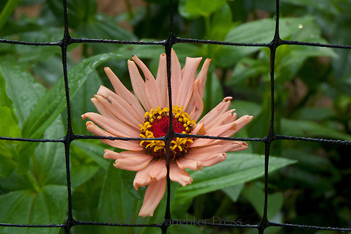 Flower  behind fence Yarmouth Community Garden and Meals on Wheels customers, Yarmouth Maine