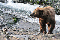 A brown bear watches out for the competition at the McNeil River Falls,  in Alaska's McNeil River State Game Sanctuary.