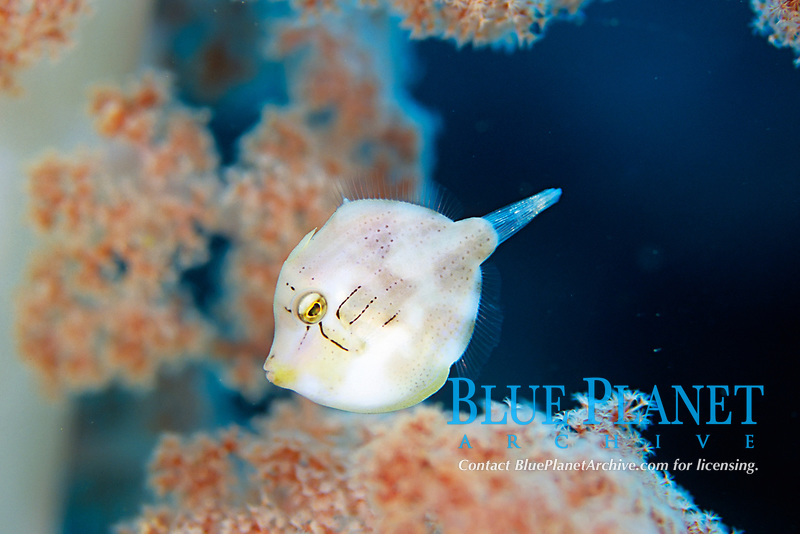 Green filefish, Brachaluteres ulvarum, soft coral, Dendronephthya sp. Futo, Sagami bay, Izu peninsula, Shizuoka, Japan, Pacific Ocean