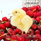 Xavier, EASTER, OSTERN, PASCUA, photos+++++,SPCHCHICKS49,#e#, EVERYDAY ,chicken