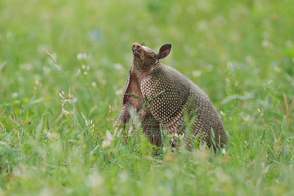 Nine-banded Armadillo (Dasypus novemcinctus), adult standing up smelling, Fennessey Ranch, Refugio, Coastal Bend, Texas Coast, USA