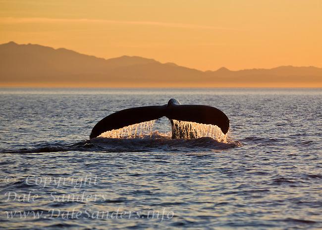 Humpback Whale (Megaptera novaeangliae) raising its tale to dive at sunset in Juan de Fuca Strait off Victoria, British Columbia, Canada.