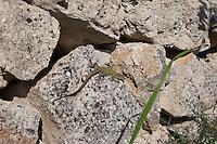 Ruineneidechse, Ruinen-Eidechse, Ruinenechse, sonnt sich auf Trockenmauer, Steinmauer, Legesteinmauer, Podarcis siculus, Lacerta sicula, Italian wall lizard, ruin lizard, Italian wall-lizard, Lézard des ruines, Italien, Sizilien