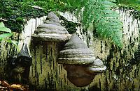 Echter Zunderschwamm, Baumpilz an Birkenstamm, Fomes fomentarius, Tinder Fungus, Hoof Fungus, Tinder Conk, Tinder Polypore or Ice Man Fungus
