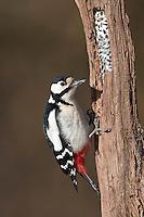 Buntspecht, Weibchen, Vogelfütterung: Fettfutter in Ritzen eines Baumstammes verteilt, Weibchen hackt an morschem Holzstamm nach Nahrung, Bunt-Specht Specht, Dendrocopos major, Great Spotted Woodpecker, Pic épeiche