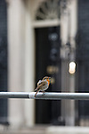© Joel Goodman - 07973 332324 . 11/05/2015 . London , UK . A singing robin perched on barriers opposite 10 Downing Street this morning (11th May 2015) . Photo credit : Joel Goodman