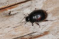 Gemeiner Dungkugelkäfer, Großer Dungkugelkäfer, Gefleckter Dungkugelkäfer, Dung-Kugelkäfer, Kugelkäfer, horse droppings beetle, Sphaeridium cf. scarabaeoides, Hydrophilidae, Wasserfreunde, Water Scavenger Beetle