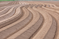 Potato ridges, alluvial silt - Lincolnshire, April
