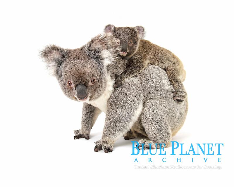 Koala (Phascolarctos cinereus), female with pup