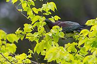 New Zealand Pigeon (Hemiphaga novaeseelandiae) feeding in Queens Park, Invercargill, Southland, New Zealand.