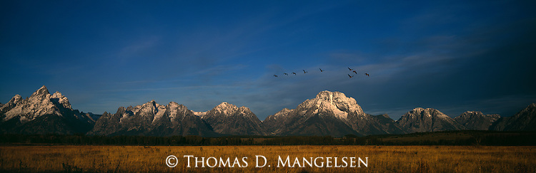 Canada geese fly over the Tetons in Grand Teton National Park, Wyoming.
