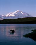 Mt. McKinley towers over a moose standing in Wonder Lake in Denali National Park, Alaska.