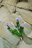 Orcutt's Aster (Xylerbiza orcuttii). Anza Borrego Desert State Park, California