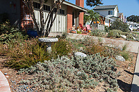 What appear to be a California Buckwheat and Bee's Bliss sage dominate this portion of the yard.