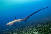 pelagic thresher, Alopias pelagicus, Philippines, Pacific Ocean