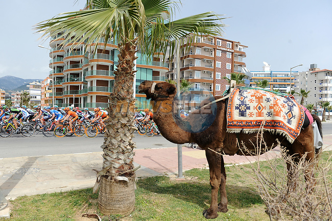 The peloton passes a camel during Stage 1 of the 2015 Presidential Tour of Turkey running 182km from Alanya to Alanya. 26th April 2015.<br /> Photo: Tour of Turkey/Stiehl Photography/Mario Stiehl/www.newsfile.ie