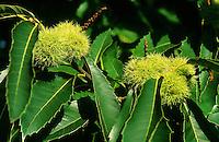 Edel-Kastanie, Edelkastanie, Ess-Kastanie, Esskastanie, Kastanie, Marone, Frucht, Früchte am Baum, Castanea sativa, Spanish Chestnut, Sweet Chestnut