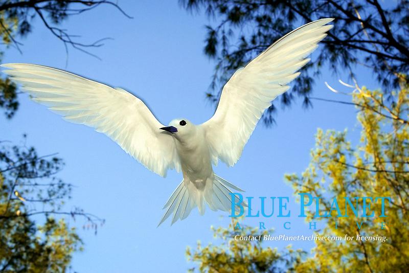white tern, sometimes called fairy tern, Gygis alba, Manu-o-Ku in Hawaiian, Midway Atoll, North west Hawaiian Islands - the official bird of Honolulu