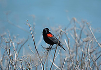 Male Red-winged Blackbird, Agelaius phoeniceus, at Cesar Chavez Park, on the shore of San Francisco Bay, Berkeley, California