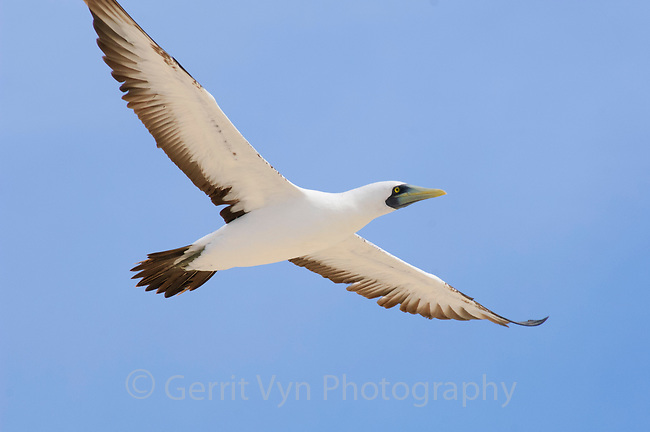 Adult Masked Booby (Sula dactylatra) in flight. Dry Tortugas NP, Florida. March.