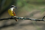 Great Kiskadee perched on a branch