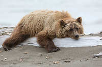 Alaska. A young grizzly bear, ursus arctos, sprawls on a driftwood log to rest.