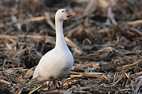 """""""Greater"""" Snow Goose (Chen caerulescens) vocalizing while foraging in an agricultural field during migration. Montezuma NWR, New York. March."""
