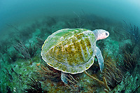 Kemp's ridley sea turtle, Lepidochelys kempii, aka Atlantic ridley sea turtle, critically endangered species, Florida, USA, Atlantic Ocean