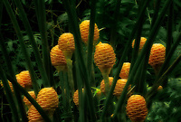 Ginger (Bee Hive) flowers. Hawaii Tropical Botanical Gardens. The big island. The Isalnd of Hawaii,