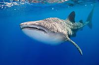 whale shark, Rhincodon typus, off Kohala Coast, Big Island, Hawaii, USA, Pacific Ocean