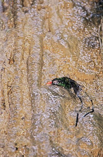 Red-billed Streamertail, Trochilus polytmus, male bathing in waterfall, Somerset Falls, Port Antonio, Jamaica, Caribbean