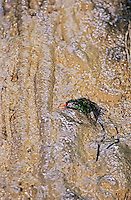 Red-billed Streamertail, Trochilus polytmus, male bathing in waterfall, Somerset Falls, Port Antonio, Jamaica, Caribbean