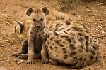 Spotted Hyena (Crocuta crocuta) five month old male pup with mother, Kruger National Park, South Africa