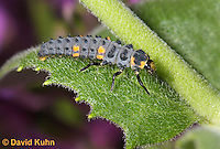 0106-0901  Seven-spotted Ladybug Larva, Coccinella septempunctata, Virginia  © David Kuhn/Dwight Kuhn Photography