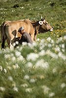 Europe/France/Languedoc-Roussillon/48/Lozère/Aubrac : Traite des vaches<br /> PHOTO D'ARCHIVES // ARCHIVAL IMAGES<br /> FRANCE 1980
