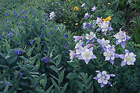 Wildflowers in alpine meadow,Blue Columbine,Colorado Columbine,Aquilegia coerulea, Bluebells,Mertensia ciliata, Ouray, San Juan Mountains, Rocky Mountains, Colorado, USA