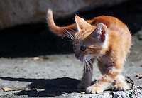 Stock image of a cute brown kitten prying curiously on something.