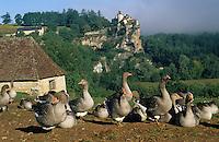 Europe/France/Midi-Pyrénées/46/Lot/Vallée de la Dordogne/Env du château de Belcastel: Troupeau d'oies de la ferme du Berthou