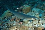 Whitetip reef shark at North Horn.Triaenodon obesus