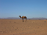 A camel on the edge of the Sahara Desert near Tamegroute in Morocco.